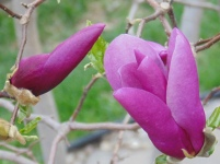 two purple magnolia buds, one closed, one open