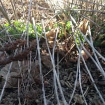 sprouting sedum plant coming up amidst last year's stems and seed heads